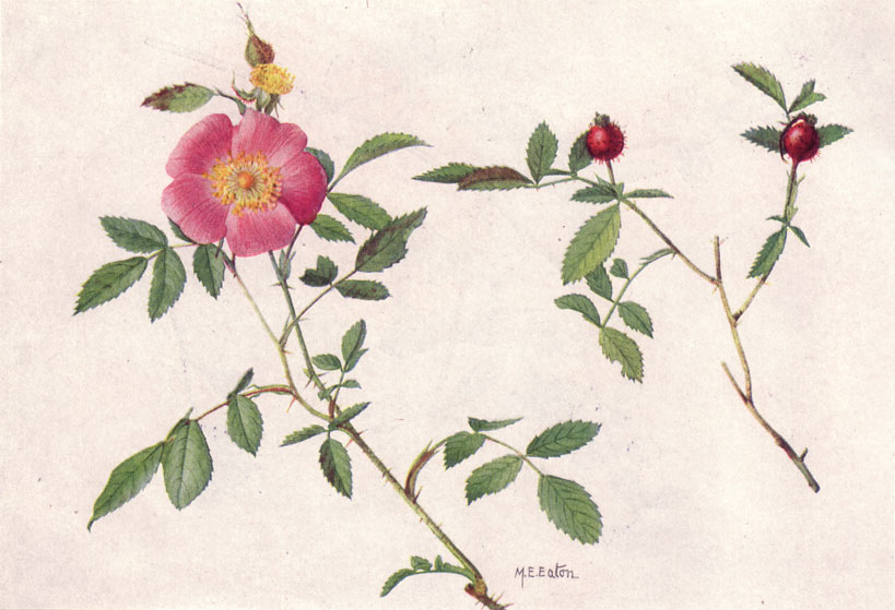 herbs for love #9 wild rose botanical drawing