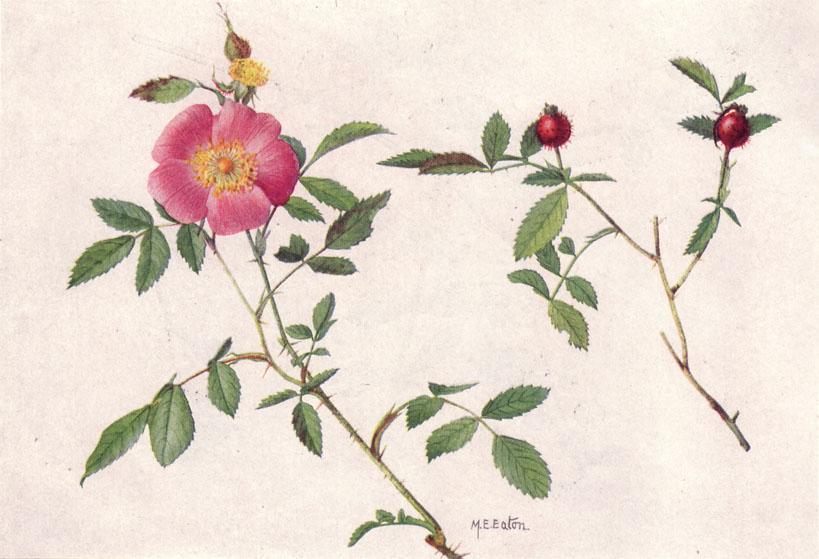 wild rose herbs for love spells