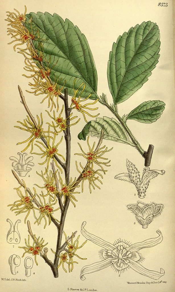 herbs for self love #8 witch hazel