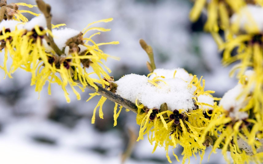 witch hazel flowering in the snow