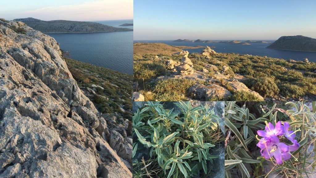 Wild sage growing in croatia