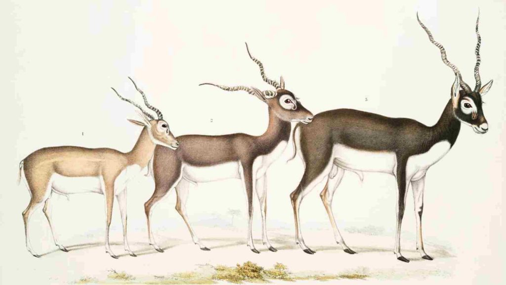 3 antelopes as witches familiar