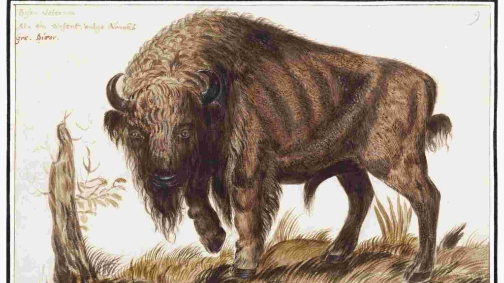 drawing of a buffalo as a witches familiar
