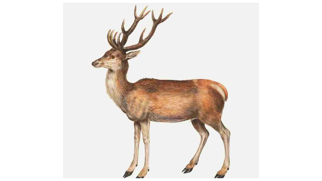 drawing of a deer with large antlers