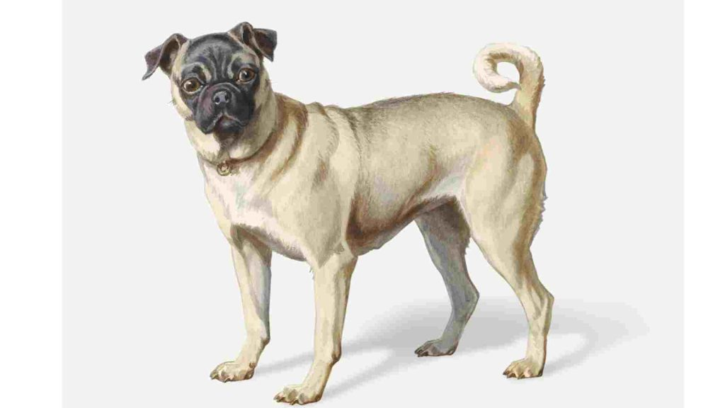 drawing of a pug dog standing