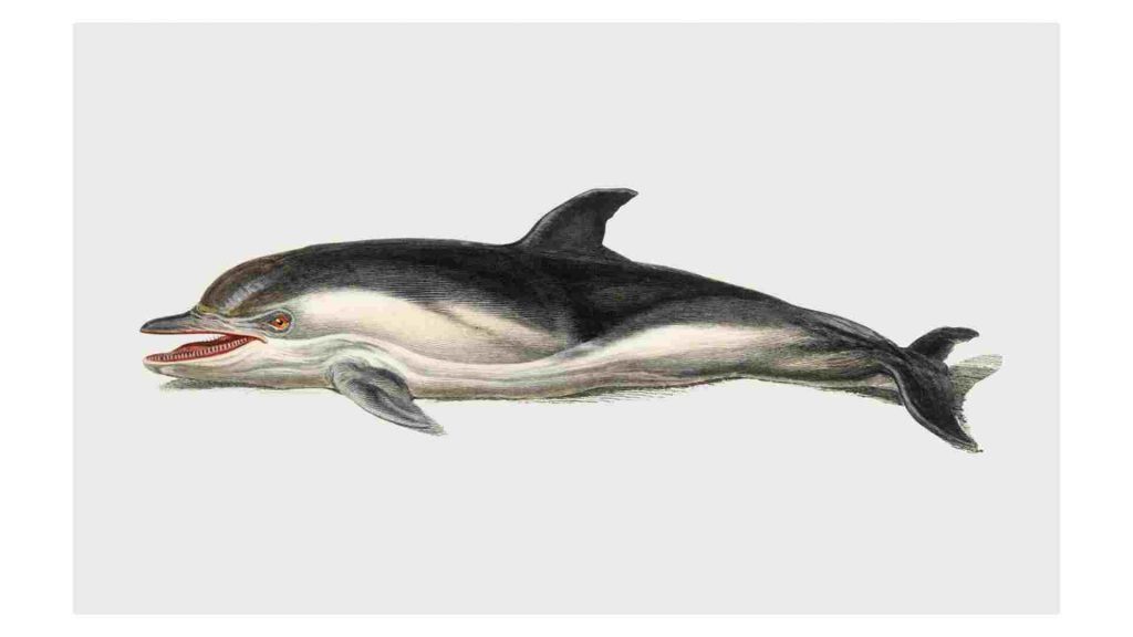 drawing of a dolphin with an open mouth