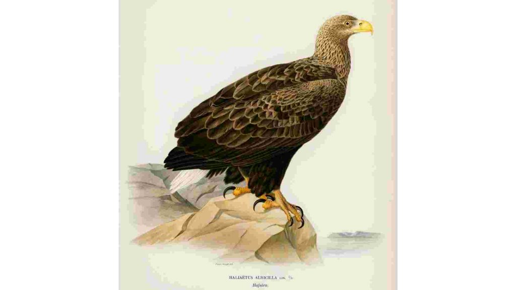 drawing of an eagle standing on a rock looking to the left of the frame