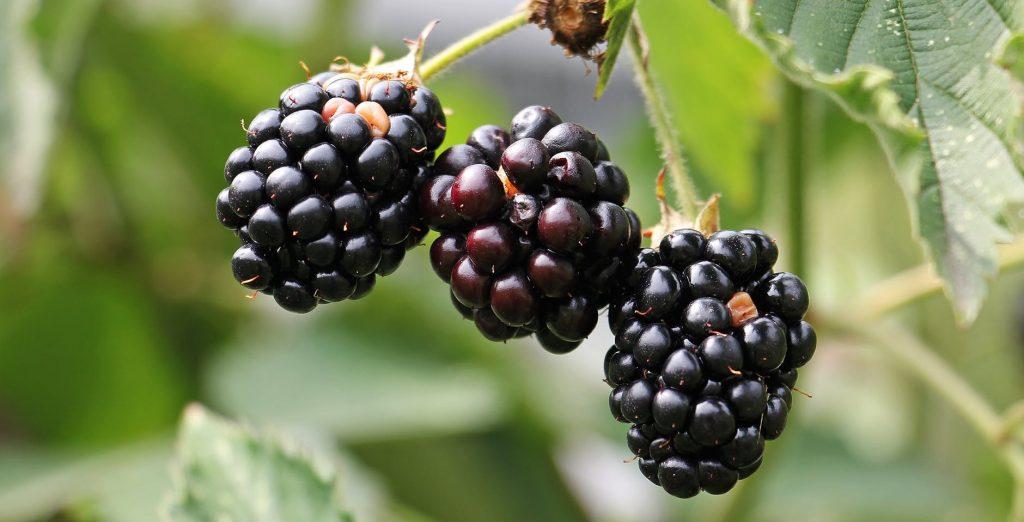 Imbolc symbols #1 blackberry