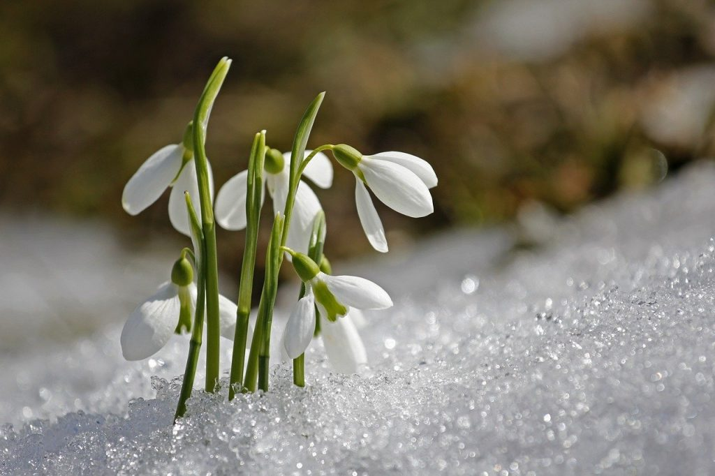 Imbolc Symbol #7 The snowdrop in the snow
