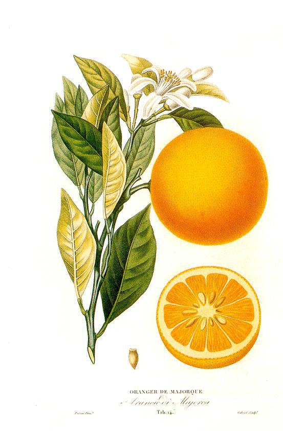 herbs for love spells #5 orange botanical drawing
