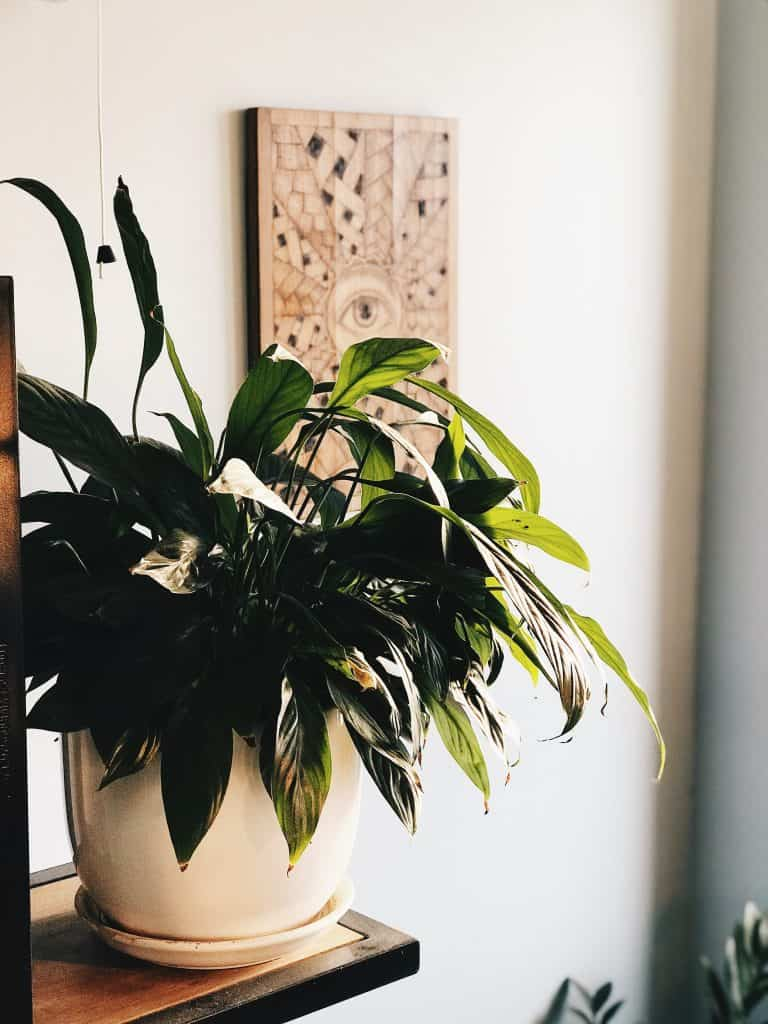 peace lily in a pot on a shelf