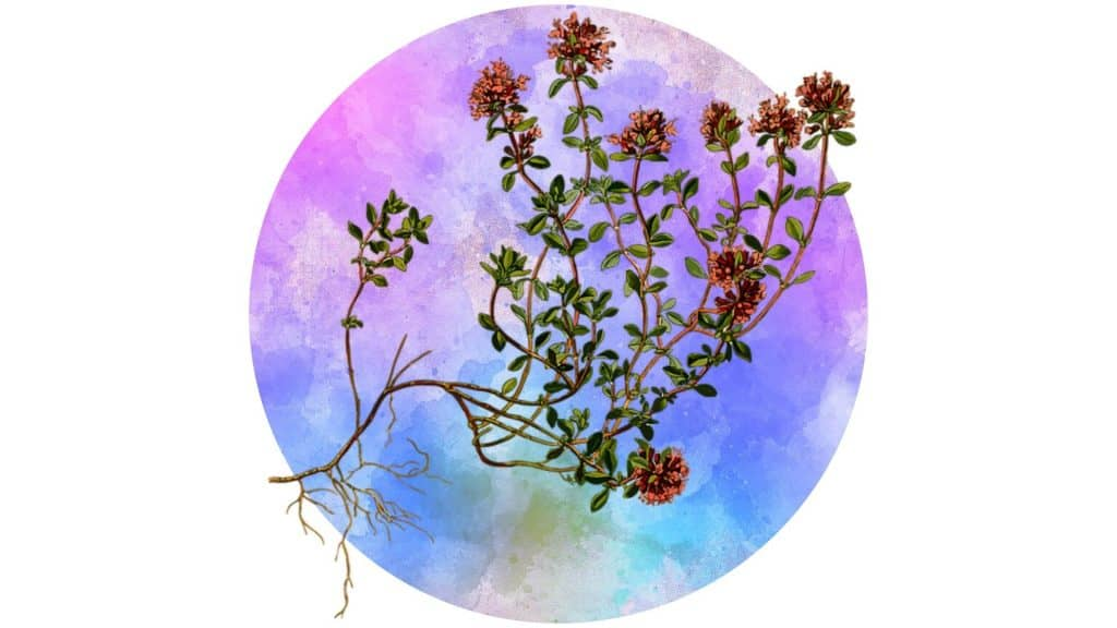 magickal plants #8 thyme illustrated against watercolour circle