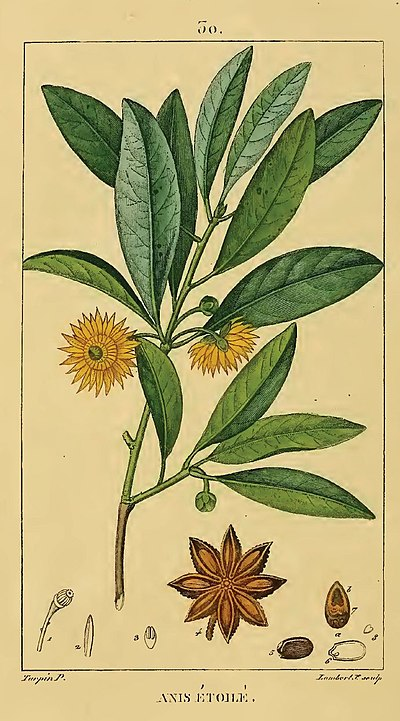herbs for anxiety #8 star anise botanical illustration
