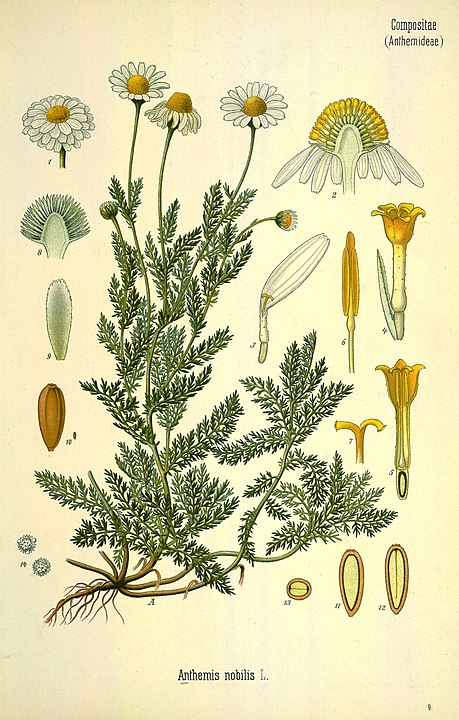 herbs for anxiety #2 chamomile botanical drawing