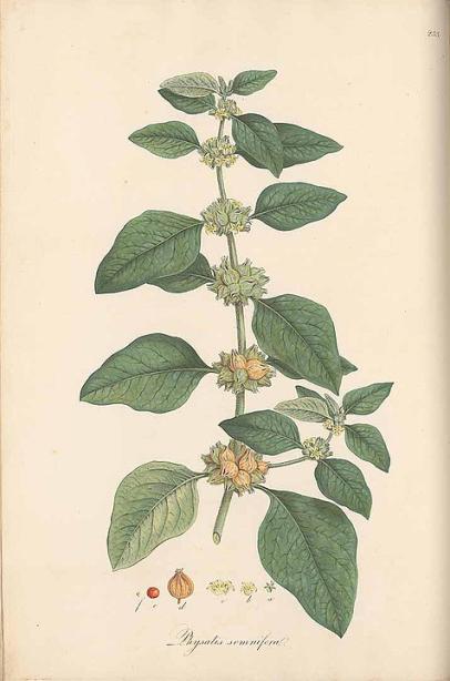 herbs for anxiety #1 ashwagandha botanical drawing