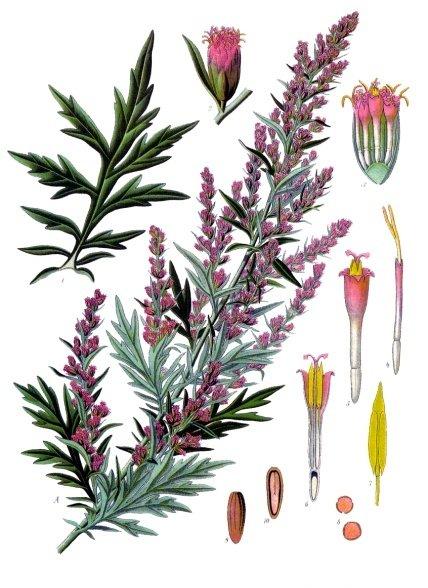 herbs for protection #9 mugwort botanical illustration
