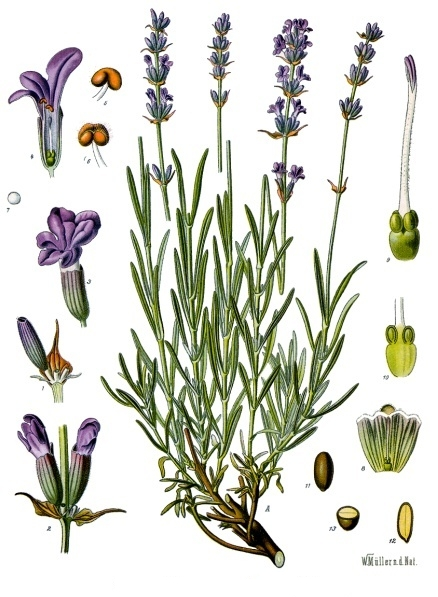 herbs for anxiety #5 lavender botanical illustration
