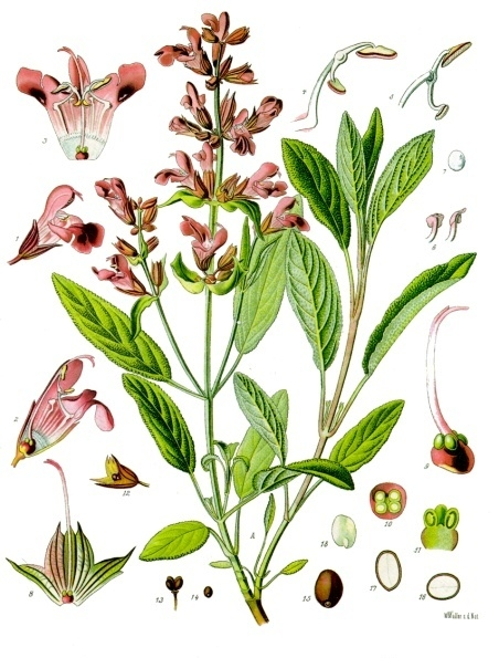 botanical illustration of Salvia Officinalis