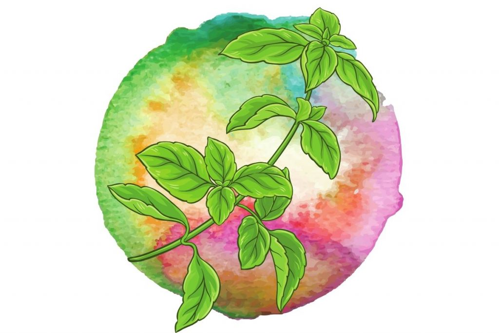 magickal plants #3 basil illustration against watercolour circle