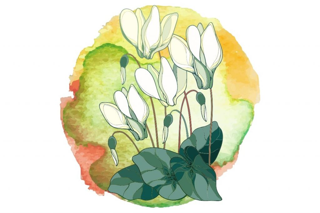 magickal plants #5 cyclamen illustrated on round watercolour background
