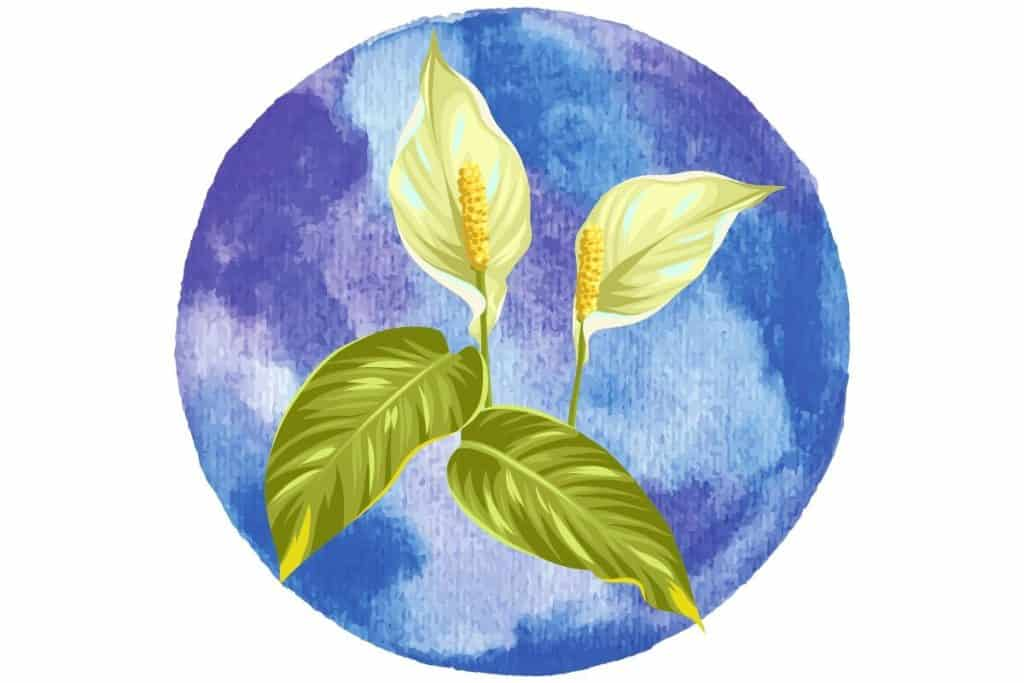 magickal plants #7 peace lily illustrated against blue watercolour circle