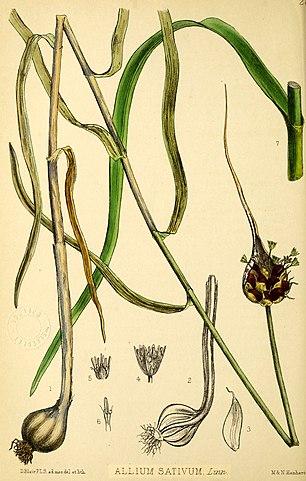 allium sativum botanical illustration for magickal properties of garlic
