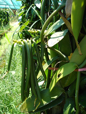 vanilla beans growing on plant