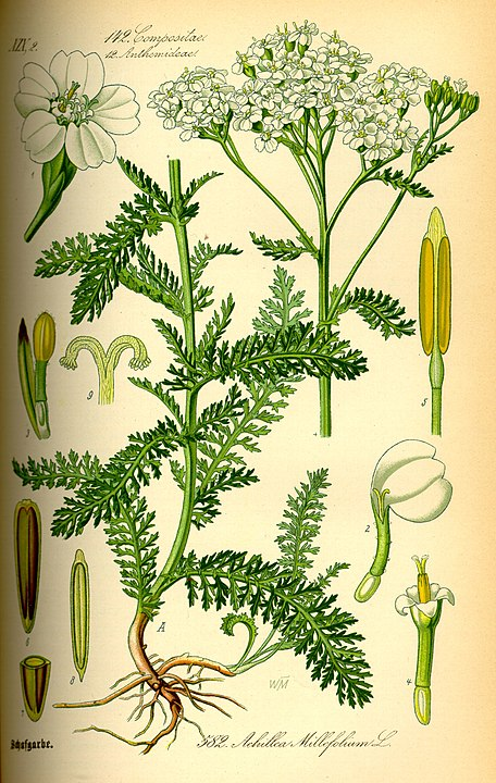 botanical illustration of Achillea millefolium for magickal properties of yarrow