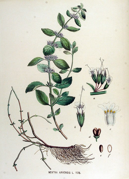 magickal properties of mint botanical drawing mentha arvensis