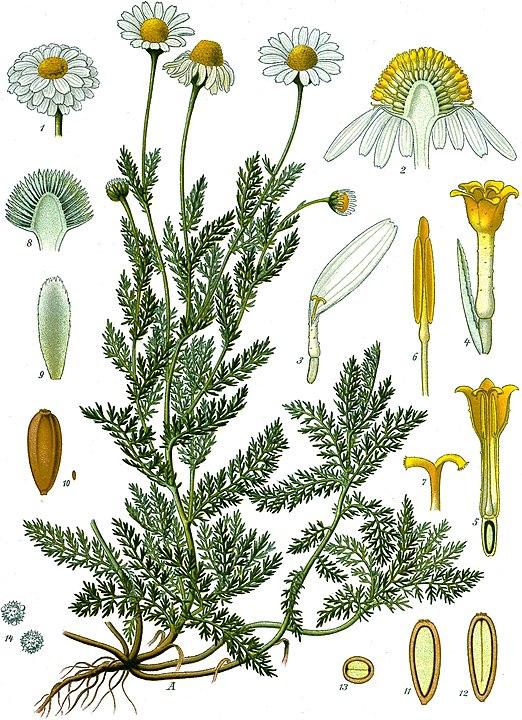 botanical illustration of Chamaemelum Nobile