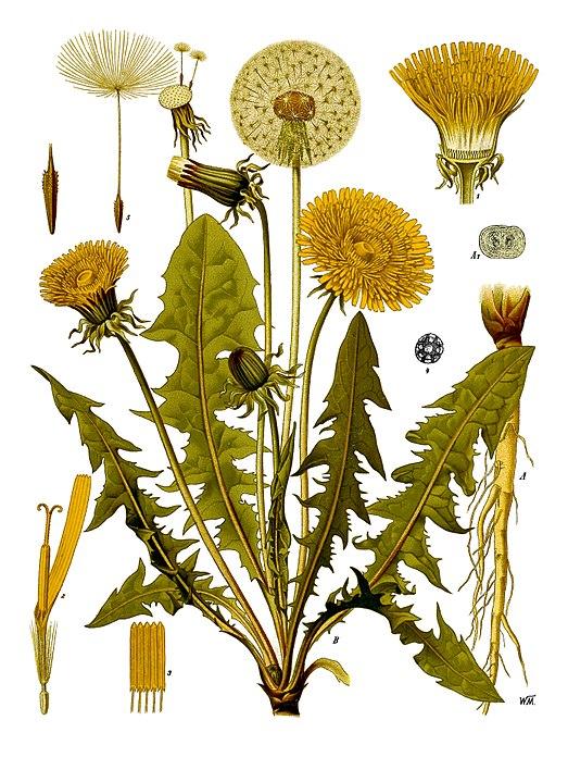botanical illustration of dandelion