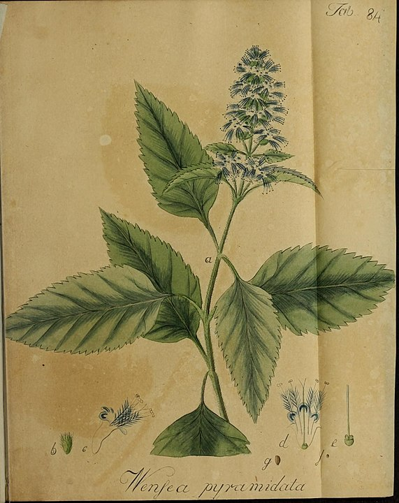 botanical illustration of patchouli for magickal properties of patchouli