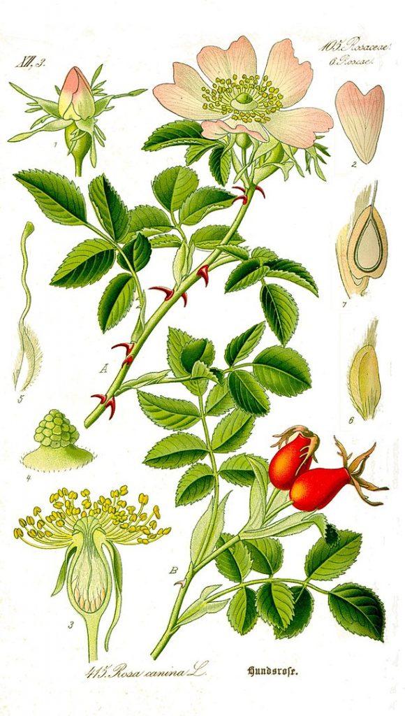 botanical illustration rosa canina