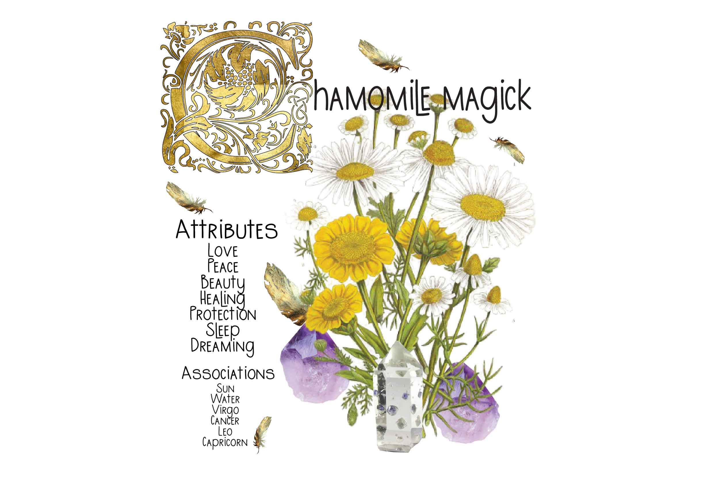 chamomile magickal benefits explained with pictures on white background