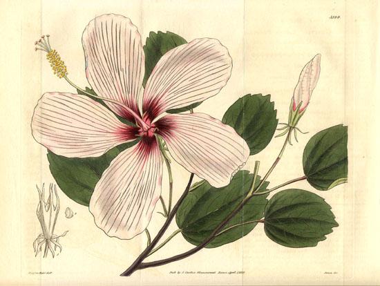 hibiscus botanical illustration