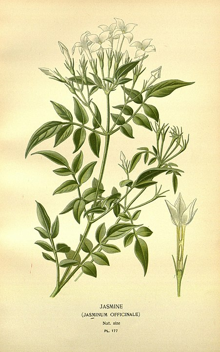 magickal properties of jasmine botanical illustration