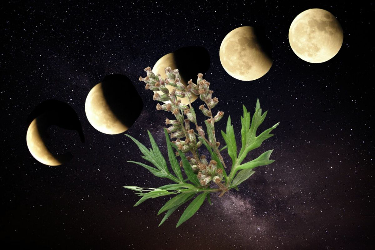 mugwort against sky with moon phases