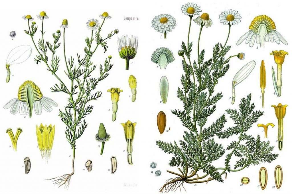comparison of german chamomile and english chamomile