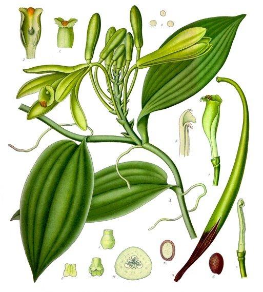 botanical illustration of vanilla planifolia