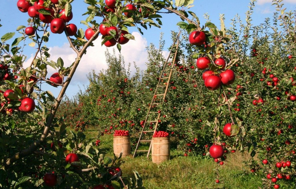 heavily laden apple orchard with barrels of picked apple and a ladder