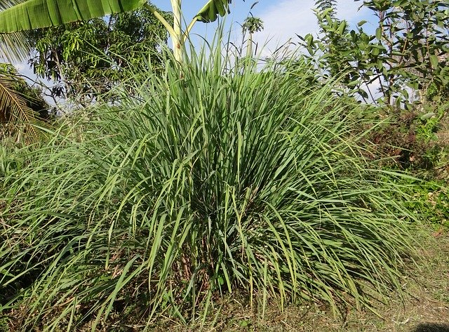 lemongrass bush out in the wild