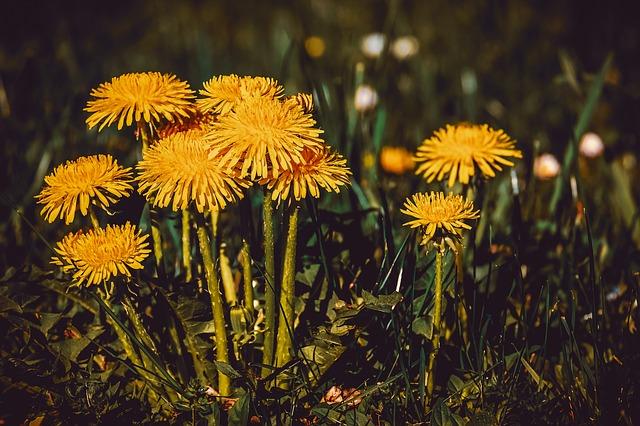 dandelions in a field close up