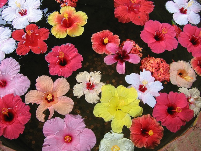 various hibiscus flowers in the water