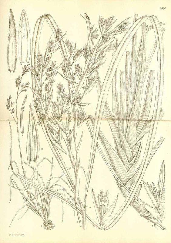 botanical illustration of lemongrass