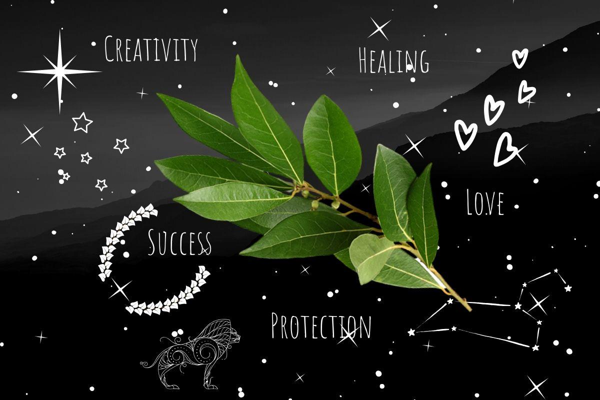 magickal properties of bay leaf illustration