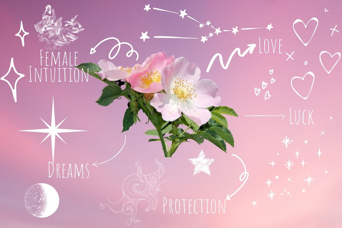 rose with magickal properties written around it on pink background