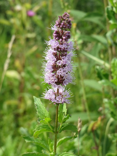 Mentha Spicata in bloom