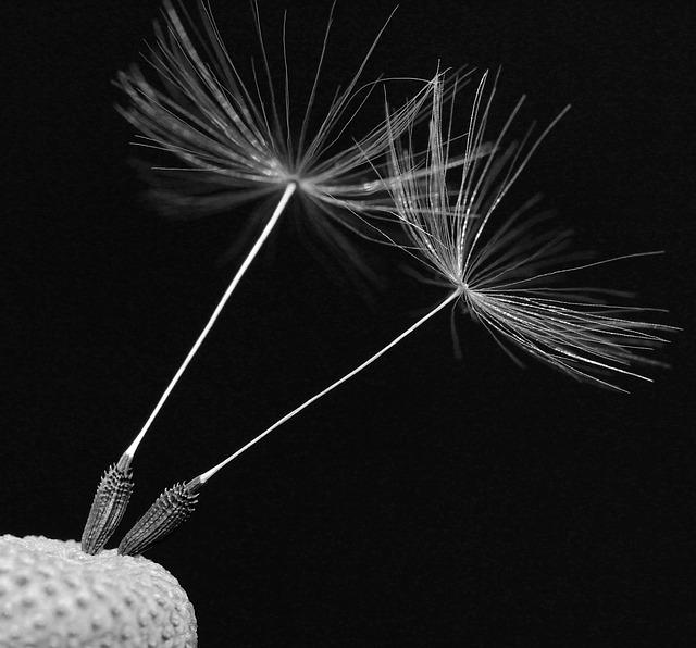 macro dandelion seed on flower head for the magickal properties of dandelion