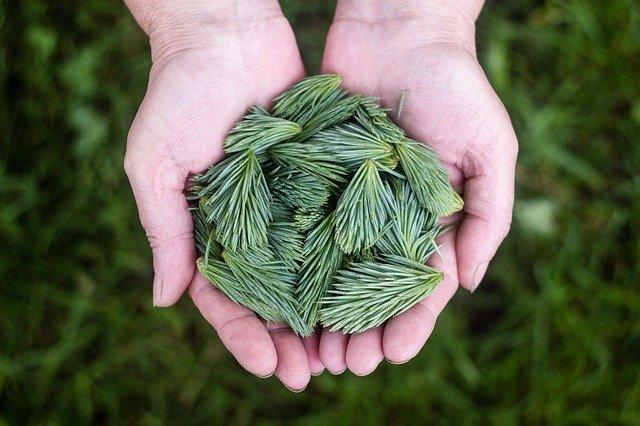 pine shoots held in hands