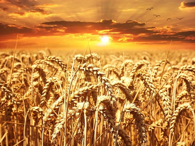 field of wheat with the sun setting behind it